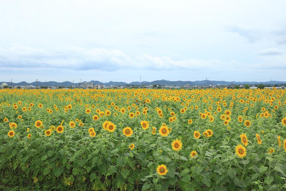 【お出かけスポット】兵庫県小野市のひまわりの丘公園にひまわりを見てきました♪【ひまわり 小野市 夏の花】